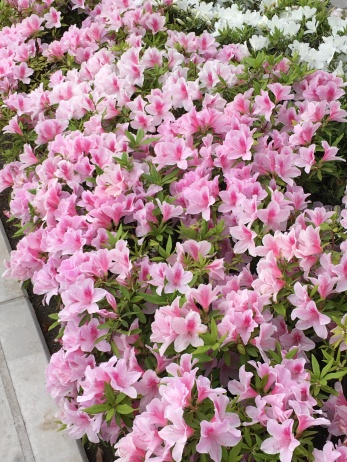 Pretty azaleas planted along the canals...