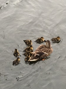 Ducklings in the canal...