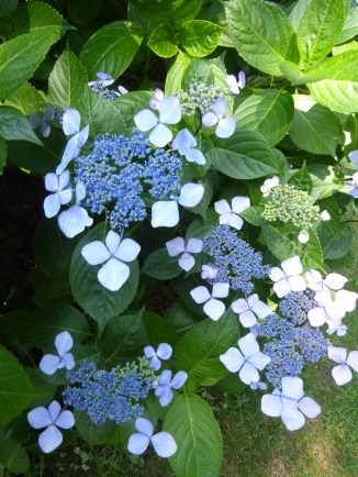 So many varieties of hydrangeas